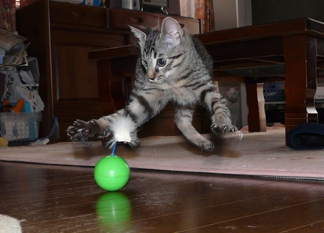 funny cat pictures, cat and ball