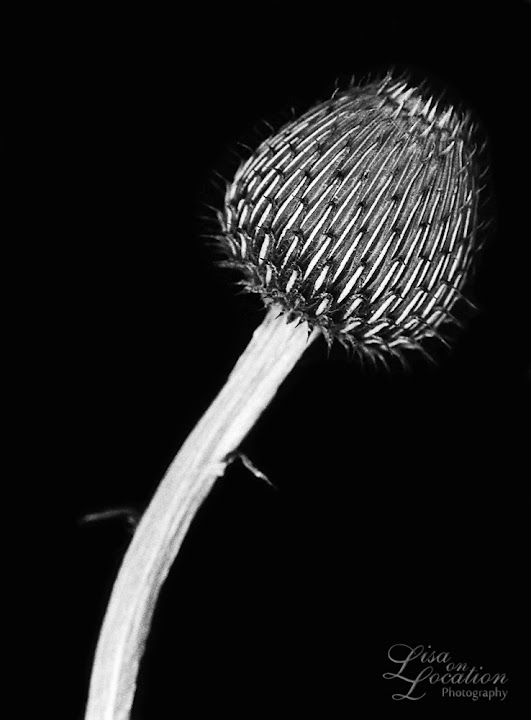 365 photo project, macro Texas thistle, Lisa On location photography. New Braunfels, Austin, San Marcos, San Antonio. Karl Blossfeldt