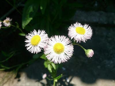 ハルジオンの花