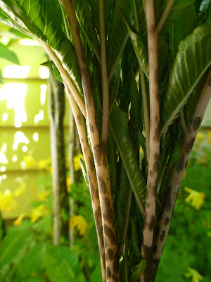 Amorphohallus bulbifer Stems and New Leaves