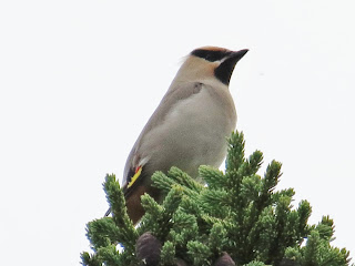 Image of a Bohemian Waxwing