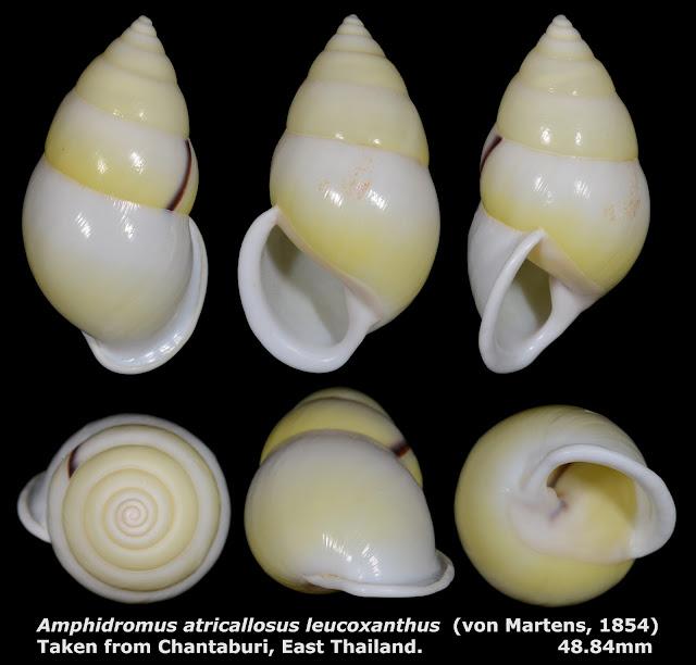 Amphidromus atricallosus leucoxanthus 48.84mm