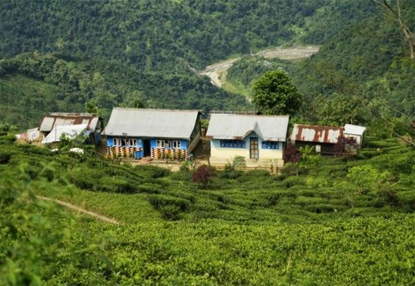 Makaibari Kurseong