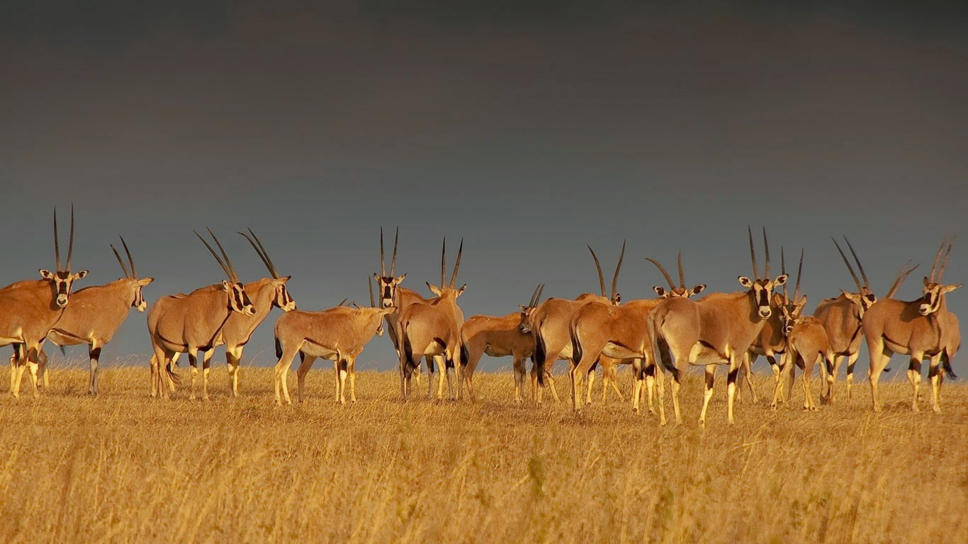 East African oryx herd, Solio Game Reserve in Kenya's Great Rift Valley (© Paul Benson/fotoLibra) 237