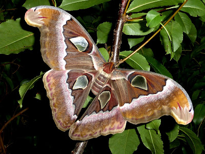 Attacus suparmani female