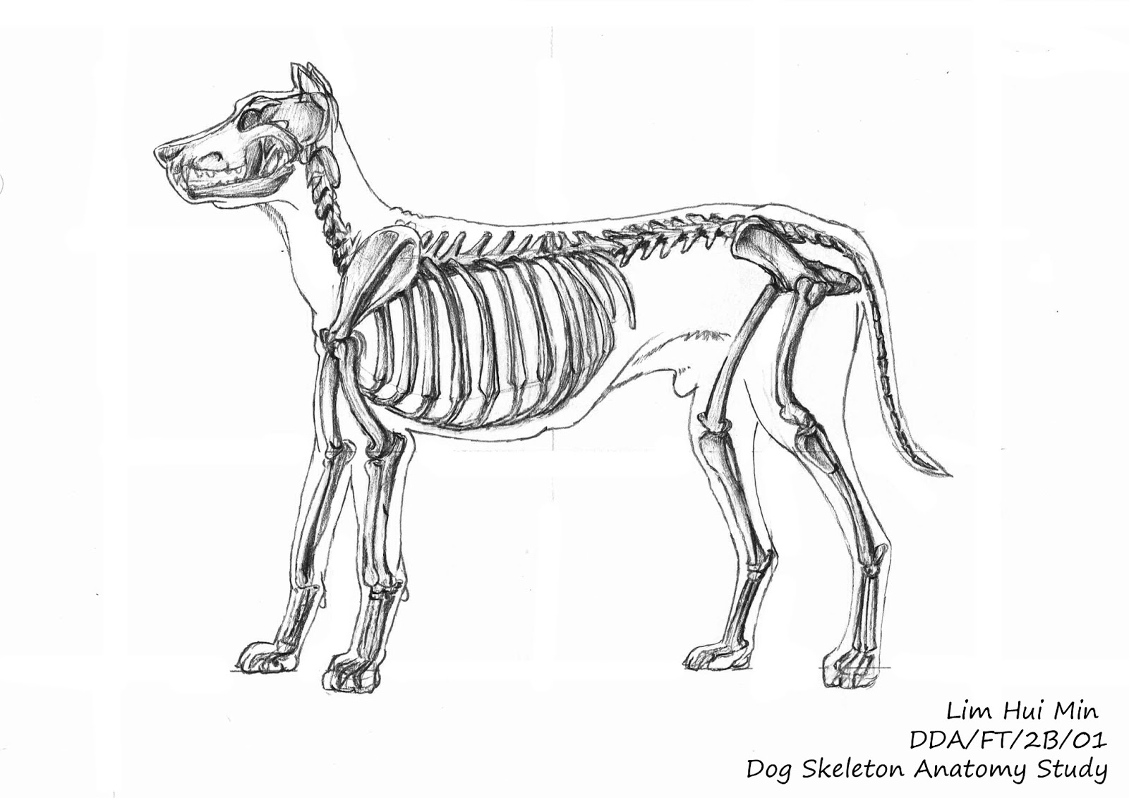 Lim Hui Min Portfolio: Animal Anatomy: Dog