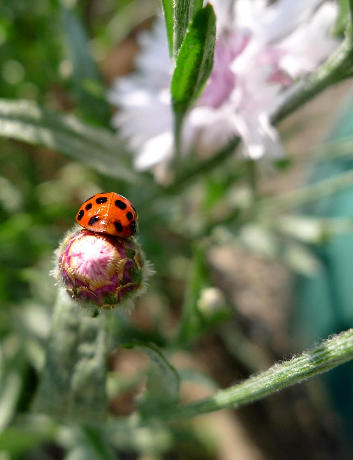 Lady bug, pollinators, urban farming