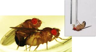 Estudo mostra que moscas rejeitadas pelas fêmeas bebem álcool