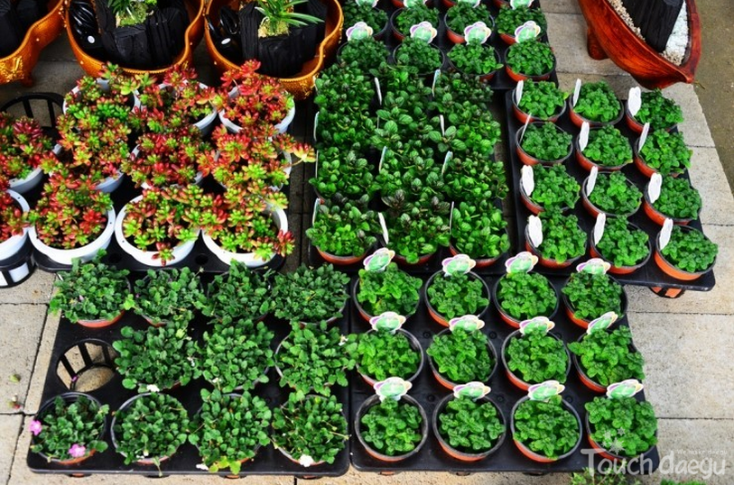 A number of succulents in pots are on sale