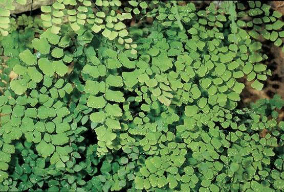 esporas se forman en la parte trasera de sus hojas en unas zonas de