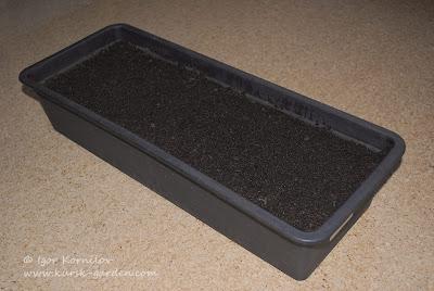 Лоток с почвенной смесью для пикировки  сеянцев рододендрона