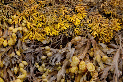 Channeled Wrack Pelvetia canaliculata Spiral Wrack Fucus spiralis receptacles channelled