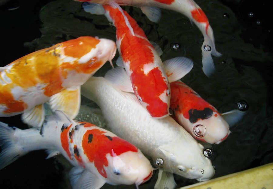Gambar ikan hiasan akuarium for Types of fish pond