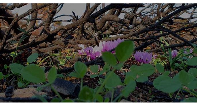 συνταρακτικο βιντεο! Τα κυκλαμινα της ελπιδας φυτρωνουν στο Ματι