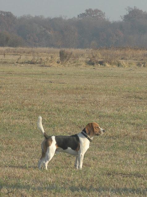 На фото: бигль в поле