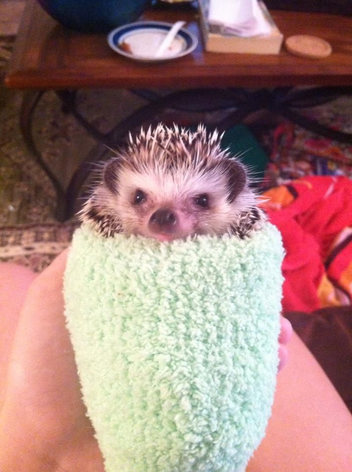 funny animal pictures, baby hedgehog on sock