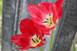 Tulips opening wide to show center