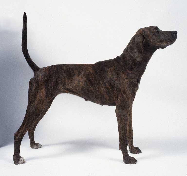 Carolina Dog Breed Brindle Color