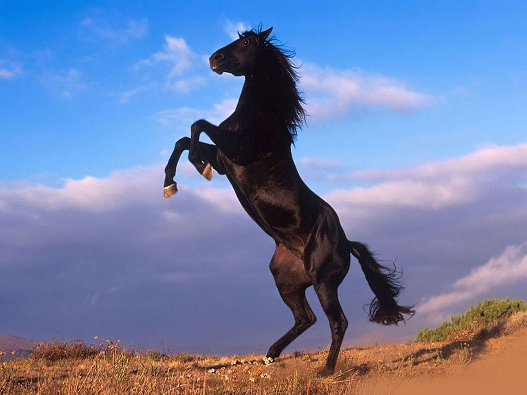 Must see   Wallpaper Horse Forest - Black+Horse+Stand+Up+Wallpaper  HD_52151.jpg