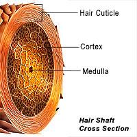 corte transversal hebra de pelo
