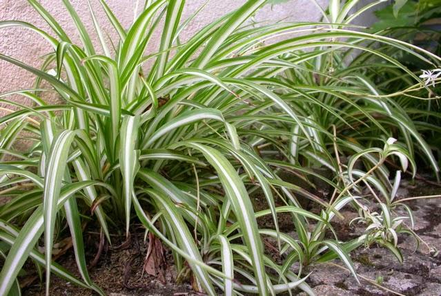 Plantas y flores plantas especies chlorophytum comosum for Planta ornamental helecho nombre cientifico