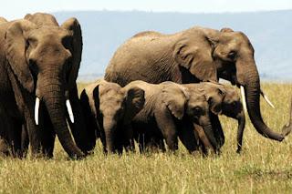 Contoh Teks Descriptive Singkat Elephant