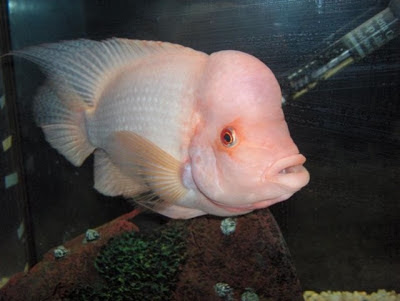 Fish index red devil fish for Red devil fish for sale