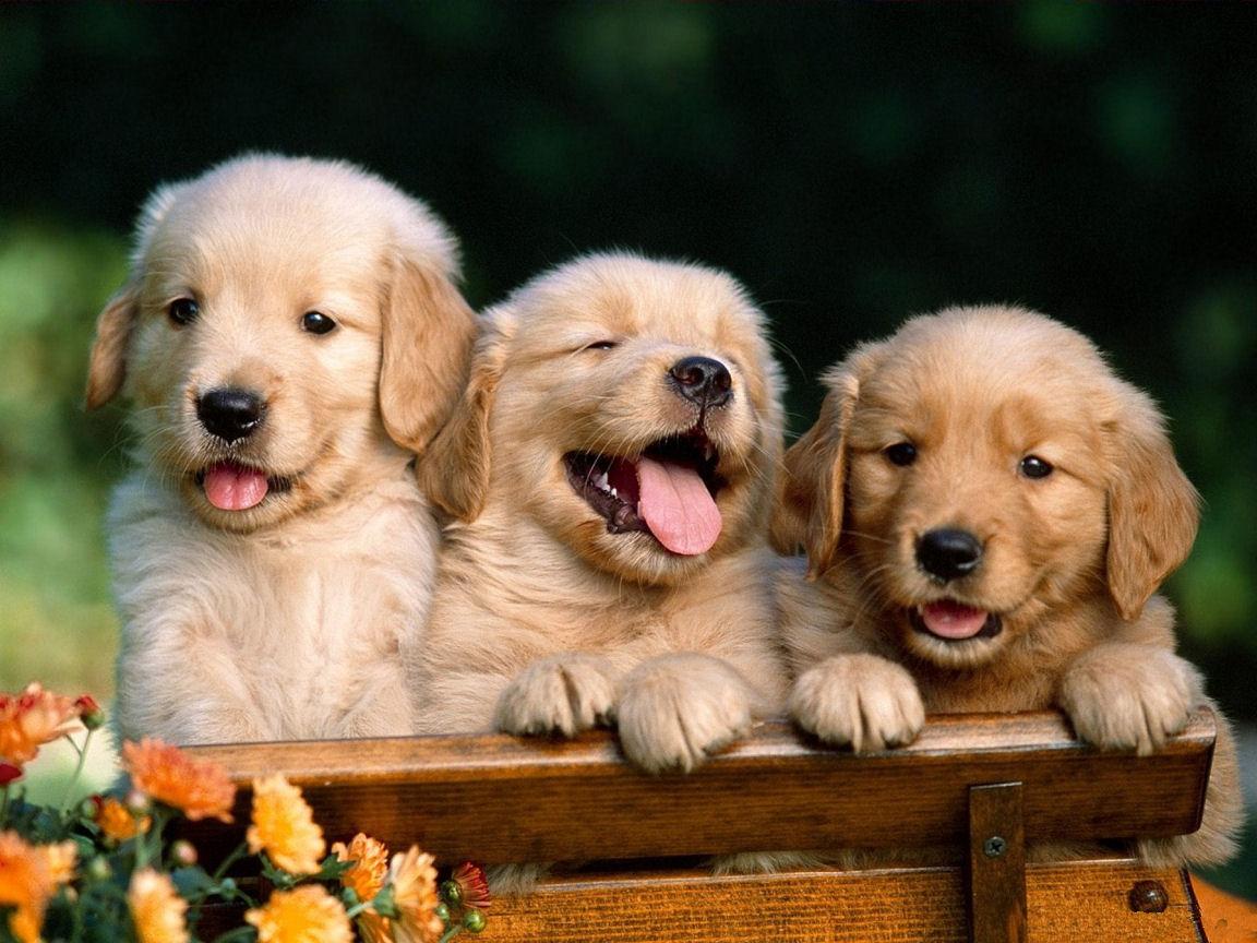 Cute Golden Retriever Puppies s Cute Puppies