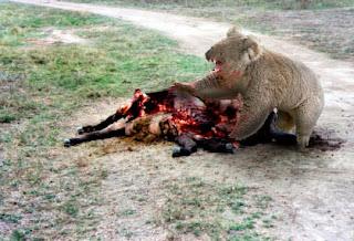 Drop Bear - Koalas Carnívoros Dropbear1