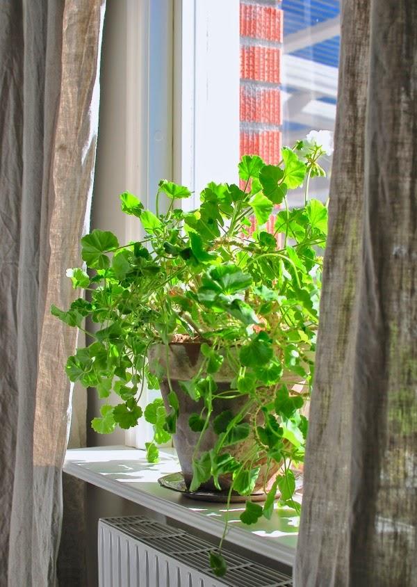 pelargon sovrumsfönster lerkruka