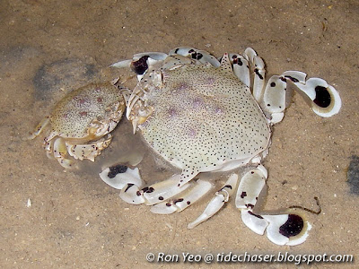 Spotted Moon Crab (Ashtoret lunaris)