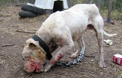 game dogs a fight to death It's not the size of the dog in the fight american pitbull terrier vs ovcharka thier neck snapped or bleed to death even a game pit did not last 1 minute.