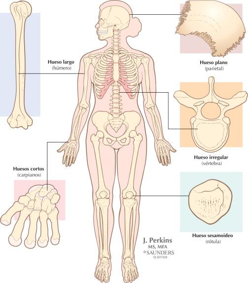 Sistema esquelético: funciones y formas de los huesos | Netter Blog