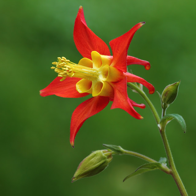 Red Columbine | Ann's Creative Photography