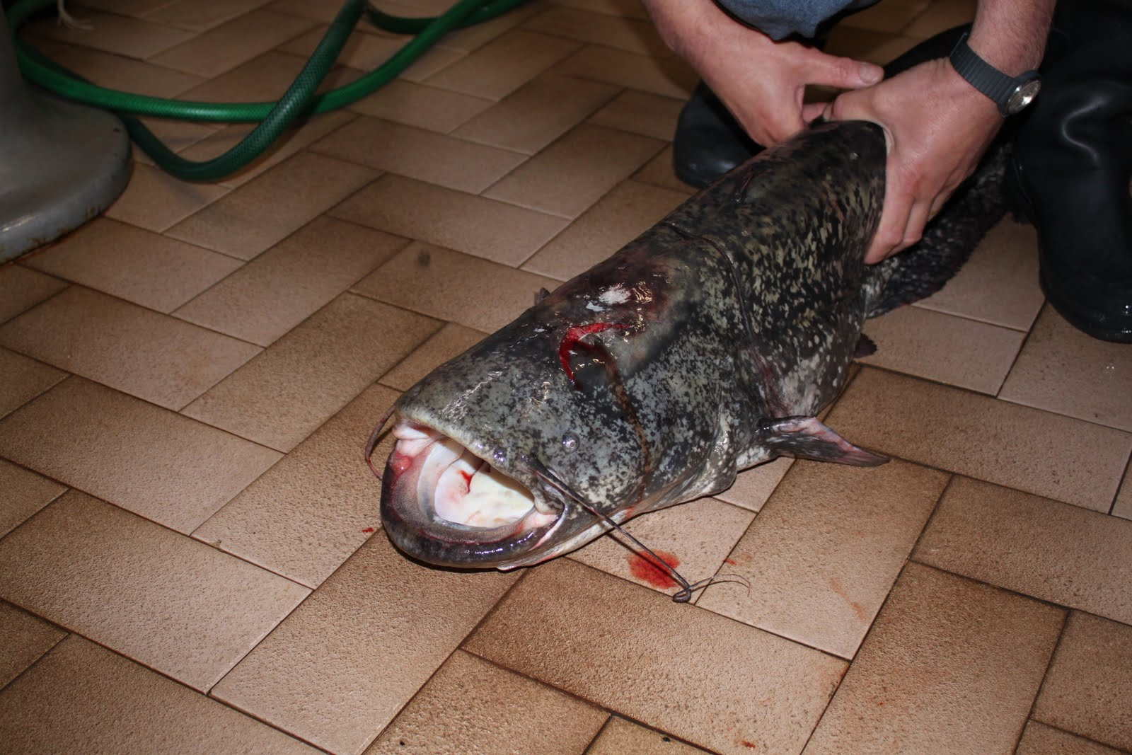 Voce del gambarogno grosso siluro pescato nel lago for Grosso pesce di lago
