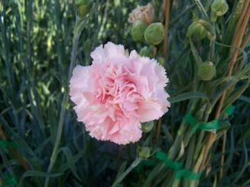 Clavel - Dianthus sp.