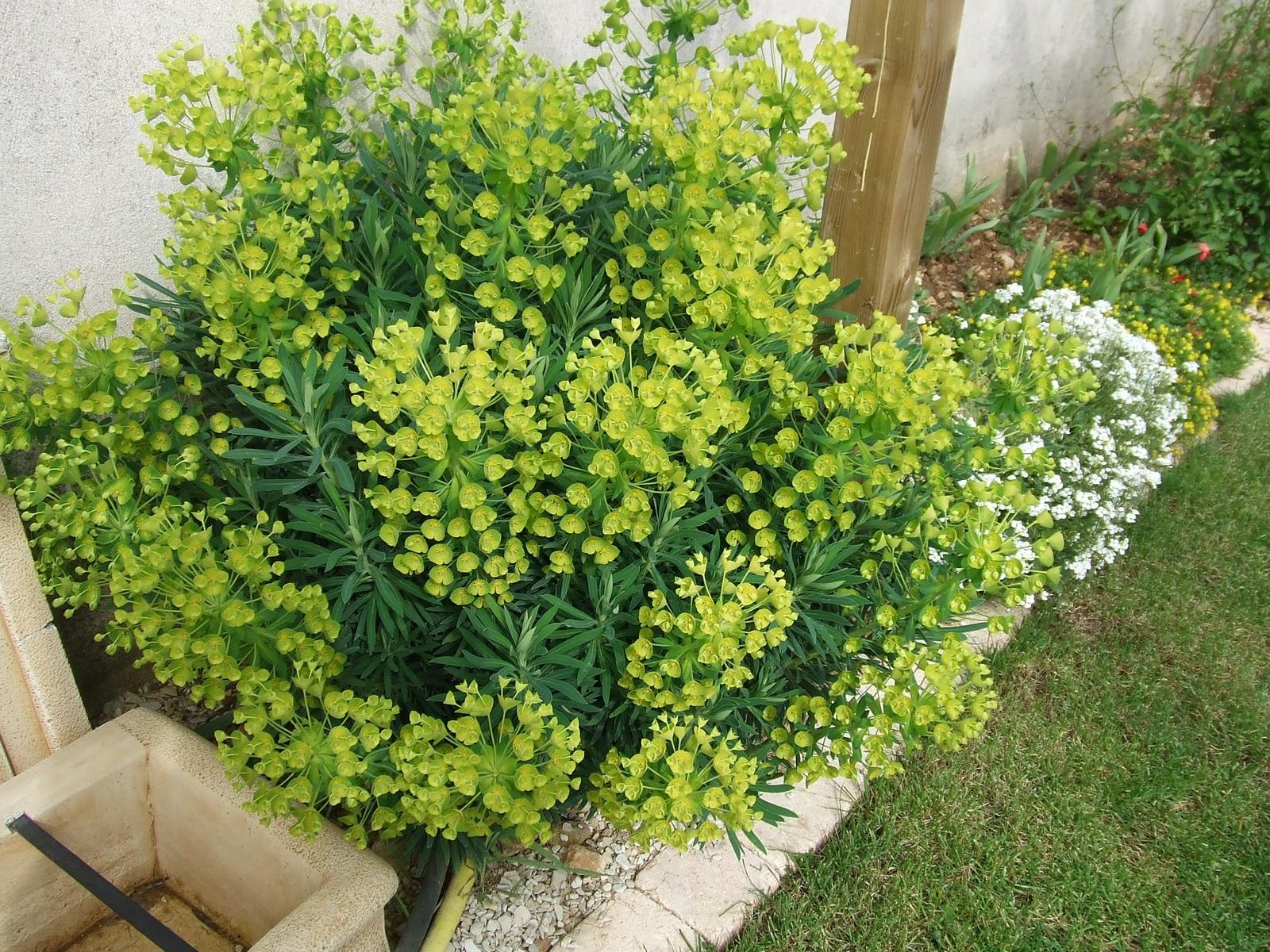sanspareil euphorbia characias ssp wulfenii euphorbe characias riesenwolfsmilch palisaden. Black Bedroom Furniture Sets. Home Design Ideas