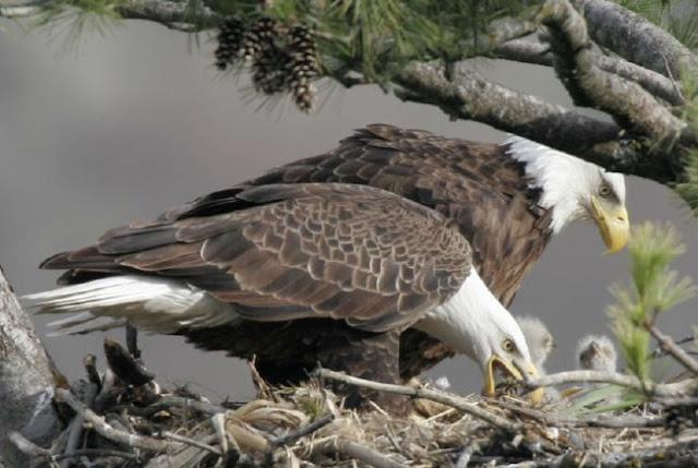 eagle family