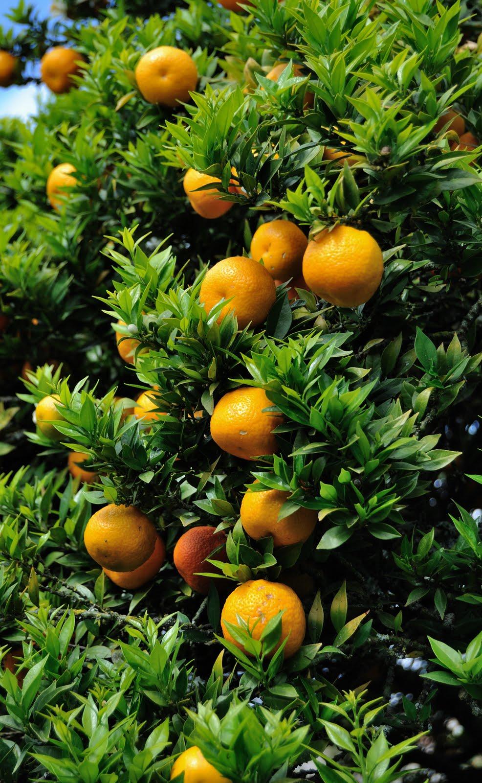 La bolsa gris citrus myrtifolia rutaceae for Citrus myrtifolia