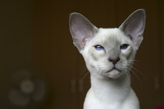 Siamese Cat Pictures