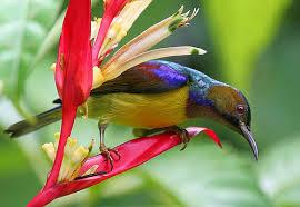kolibri ninja bagus