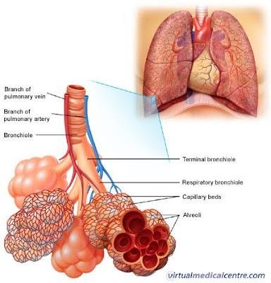 paru_paru, alveoli