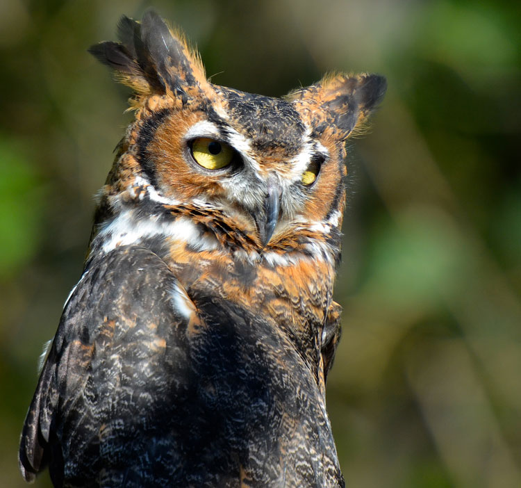 Red and the Peanut: Listening for our Great Horned Owls this winter...