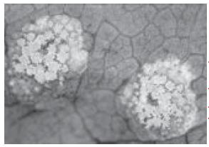 Jamur Basidiomycota (Ciri-Ciri, Reproduksi, Jenis, dan Contoh Jamur Basidiomycota | Jamur Merang, Kuping)
