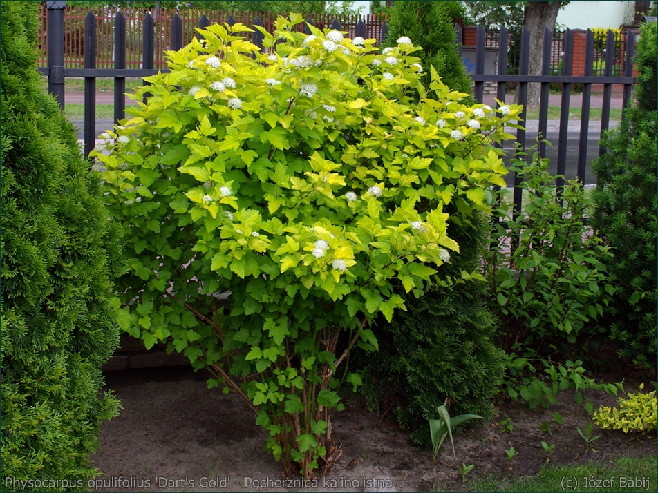 Physocarpus opulifolius 'Dart's Gold' - Pęcherznica kalinolistna