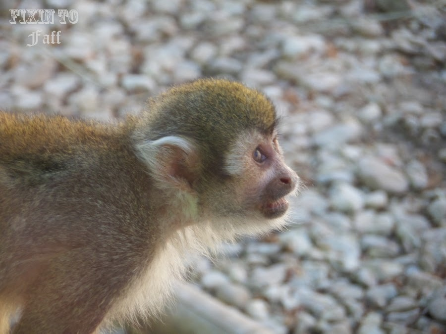 Cameron Park Zoo Squirrel Monkey