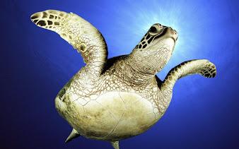 #6 Turtle Wallpaper