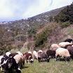 Φωτογραφίες από Βενέττα Χαγιά: Σκάρισαν τα πρόβατα