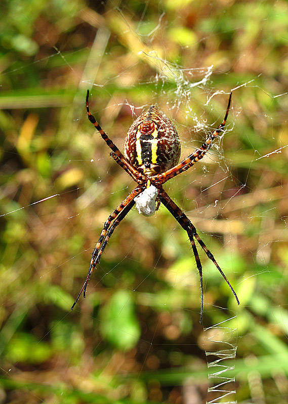 Squirrel 39 s view argiope garden spider for What does a garden spider look like
