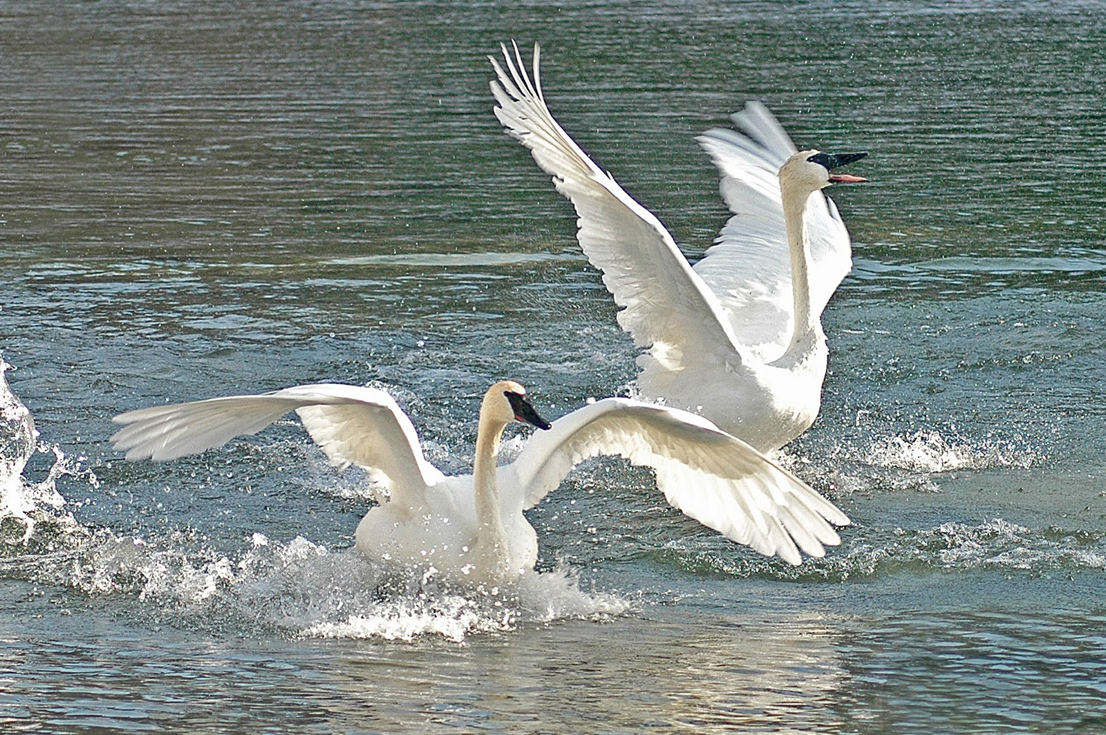 Swans dancing and prancing at Park Rapids. Photo by Marianne Diericks.